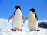 Penguin Wallpapers30 pics